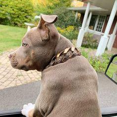 The Maui rose with floral inlay BigDogChains.com free resizing for life so get it anytime! . . •Made in Canada 🇨🇦  •Lifetime warranty  •free resizing  •free shipping  . . . . . . #bully #americanbully #mauirose  #montreal  #beachbody #pitbull #beachdogs #dog #dogcollar #balboacollar #tricolor #dogsofinstagram #collar #bigdogchains #gratedane #raw #losangeles #dogsofinstagram Big Dogs, Beachbody, Maui, Montreal, Bullying, Pitbulls, Canada, Free Shipping, Rose