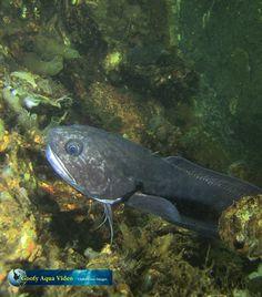 Onderwatervideograaf Robert Hughan van Goofy Aqua Video was laatst weer in #Zeeland en kwam onder meer deze #vorskwab tegen.