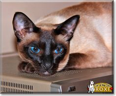 Read Roxi the Seal Point Siamese's story from Somerset West, Western Cape, South Africa and see her photos at Cat of the Day http://CatoftheDay.com/archive/2011/July/03.html .