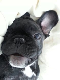 """Hewwo"", adorable French Bulldog Puppy❤️❤️"