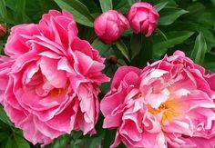 Google Image Result for http://www.mooseyscountrygarden.com/garden-journal-07/peony-buds-pink.jpg