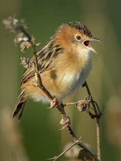 Golden-headed Cisticola (Cisticola exilis) also known as the Bright-headed Cisticola