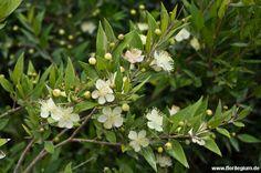#Myrte, #Myrtus communis http://www.florilegium.de/blog/pflanzen/straeucher-und-baeume/myrte-myrtus-communis.html