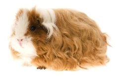 texel guinea pig <<my pigs are texels. :)