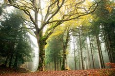 Lordly Oak by FlorentCourty ~ A magnificent old oak tree whose branches wear golden fall colors, contrasting against the dark greens of the surrounding firs.