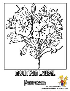 pennsylvania state flower coloring page mountain laurel