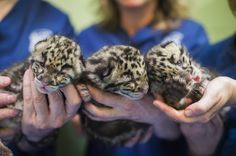 Clouded leopard cubs Point Defiance Zoo and Aquarium