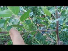 심은지1년차 사과대추나무 관리 - YouTube Plant Leaves, Plants, Planters, Plant, Planting