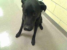 This is Milo, a 4 year old black lab who's been in the shelter far too long. Boy would he love to find a great foster home or adoptive home!  He is a cutie who would love to be rescued from the shelter by a committed, big hearted foster family! The shelter he is at is high kill and will euthanize him if a foster home can't be found. Join our network of fosters and help us get him out of there! Are you willing to open your heart and home to him or other pets in need of foster homes? Learn…