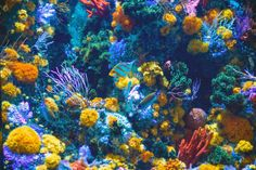 Coral reef conservation is important. There are also steps individual travellers can take to preserve the reefs, solely via purchasing decisions. Keep reading to find out more! #conservation #coralreefs #preservation Coral Pictures, Colorful Pictures, Green America, Amazing Aquariums, Underwater Pictures, Aquarium Decorations, Close Up Photography, Wallpaper Free Download, Life Photo