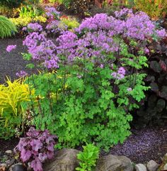 Thalictrum 'Black Stockings- bright blooms for the shady garden  Image courtesy Terra Nova Nurseries
