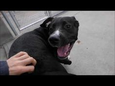 MAUI – A1073225  MALE, BLACK / WHITE, LABRADOR RETR MIX, 2 yrs STRAY – ONHOLDHERE, HOLD FOR ID Reason STRAY Intake condition UNSPECIFIE Intake Date 05/11/2016, From NY 11226, DueOut Date 05/14/2016,  Medical Behavior Evaluation GREEN Medical Summary Scan negative M; 2 yo; 66.2 lb Sweet and freindly; seeks attention; lose body; easily allows all handling Scar on left knee indicates possible previous cruciate surgery Old scar from wound on left hand side; resolved EEN clear Skin and coat…