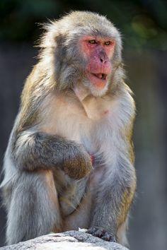 Japanese Macaque(Macaca fuscata) photographed by Tambako the Jaguar at Stuttgart Zoo Germany Monkey Species, Animal Species, Stuttgart Zoo, Save Animals, Funny Animals, Ape Monkey, Monkey King, Cute Girl Hd Wallpaper, Japanese Monkey