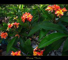 Rare Flowers - The Plumeria Orange Fanta   Flickr - Photo Sharing!