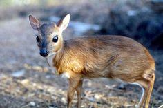 Royal Antelope (Neotragus pygmaeus)