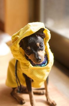 .Looks just like my min-pin when she was a pup. :( and now I lay her to rest today