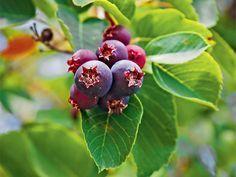 Die Felsenbirne – fast vergessene Sommerfrüchte - Rosen   Sträucher   Bäume - Gartenpraxis - Mein Garten - gartenflora.de