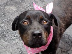 TO BE DESTROYED 8/21/14 Manhattan Center -P  My name is DIAMOND. My Animal ID # is A1009729. I am a female black and brown rottweiler mix. The shelter thinks I am about 3 YEARS old.  I came in the shelter as a STRAY on 08/08/2014 from NY 10032, owner surrender reason stated was STRAY.