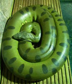 Anaconda - green - the largest snake in the world Kinds Of Snakes, Cool Snakes, Colorful Snakes, Anaconda Verde, Giant Anaconda, Green Anaconda, Anaconda Snake, Big Animals, Skull Art