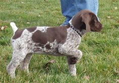 German Shorthaired Pointer puppy already on point---adorable.