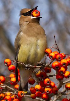 """(Cedar Waxwing) * * BIRD: """" Noes, I don'ts wax me wings. I betters take dis to de ground and pecks to eat it, or I beez one dead birda."""""""