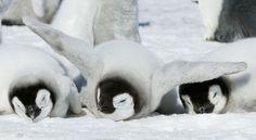 Penguin chicks rest on the snow