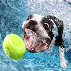 Discover Fun Boston Terriers And Kids Funny Dog Images, Funny Animal Pictures, Funny Dogs, Cute Dogs, Funny Puppies, Boston Terriers, Boston Terrier Love, Underwater Dogs, Friendly Dog Breeds
