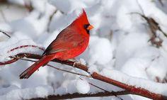 red bird in winter #MyRadleyChristmas