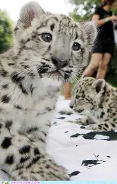 Baby Snow Leopards have blue eyes when they are born. After 8 weeks the eyes change to green / yellow.