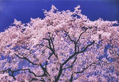 The flower of a cherry tree