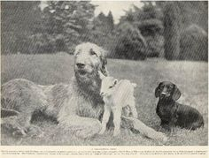 irish wolfhound And dachshund Original Vintage Dog Print 1934 Big Dogs, Cute Dogs, Dogs And Puppies, Scottish Deerhound, Irish Wolfhounds, Famous Dogs, Wire Haired Dachshund, Lurcher, Vintage Dog