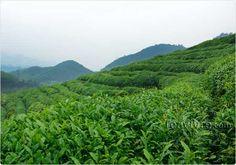 Tian Mu Organic Tea Garden