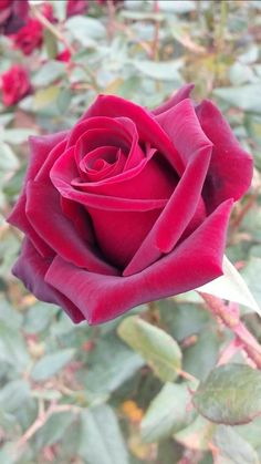 Discover recipes, home ideas, style inspiration and other ideas to try. Love Rose Flower, Beautiful Rose Flowers, Happy Flowers, Romantic Roses, Flowers Nature, Amazing Flowers, Beautiful Flowers, Beautiful Body, Rose Reference