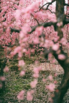 Sakura tree. I wish I was in the picture