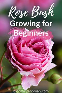 Growing Rose Bushes