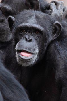 New free stock photo of nature animal monkey - Stock Photo