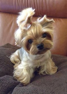 Yorkie Yorkshire Terrier ___ Click the Link in my Bio < and what you will find there use it as a Gift. Cute Teacup Puppies, Teacup Yorkie, Cute Puppies, Cute Dogs, Dogs And Puppies, Yorkie Puppy, Baby Yorkie, Teacup Dogs, Chihuahua