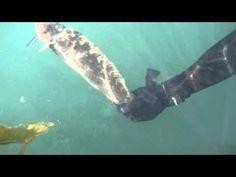 Spearfishing California 2015