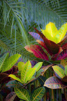 Palms and Crotons...beautiful combo!
