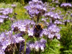 Phacelia, blue tansy or purple tansy Herbs, Plants, Cottage Garden, Food Forest Garden, Permaculture Design, Forest Garden, Flowers, Nature, Blue Tansy