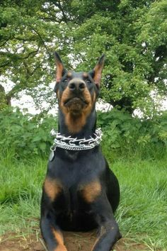 Only Stupid People Put Prong Collars On Their Dog That S Right I Said It Dobermann Pinscher Doberman Doberman Pinscher