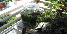 ΛΙΚΕΡ ΜΑΣΤΙΧΑ - ΣΥΝΤΑΓΗ - Μαστίχα ονομάζεται η αρωματική φυσική ρητίνη που εξάγεται από το μαστιχόδεντρο (Πιστακιά η λεντίσκος ποικ. η Χία), το οποίο ...... Diy And Crafts, Mason Jars, Recipies, Lemon, Sweets, Mugs, Tableware, Plants, Food