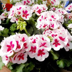 Geranium Plants - Americana White Splash More