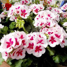 Geranium Plants - Americana White Splash More