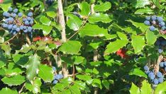 Oregon Grape – Health Benefits and Side Effects Grape Health Benefits, Grapevine Growing, Grape Plant, Oregon Grape, Blue Fruits, How To Attract Birds, Growing Grapes, Evergreen Shrubs, Medicinal Plants