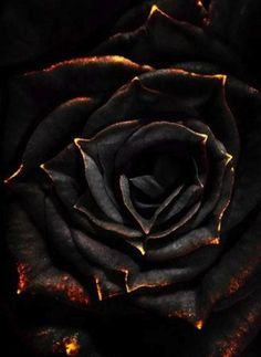 Created by a tainted; this plant is one part Deadly nightshade, one part Rose with a small part of Shadow Blood. Said to turn white in Sunlight, the Nightshade Rose is extremely toxic. Just one prick of it's thorns can cause death. Beautiful Rose Flowers, Black Flowers, Purple Roses, Gold Flowers, Or Noir, Arte Obscura, Deco Floral, Rose Wallpaper, Dark Art
