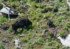 Black Bears on Cannon MT. NH..