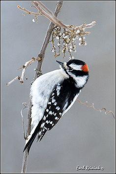 Woodpecker (Downey)