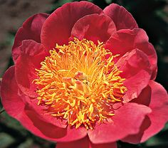 Paeonia Coral 'n' Gold - White Flower Farm