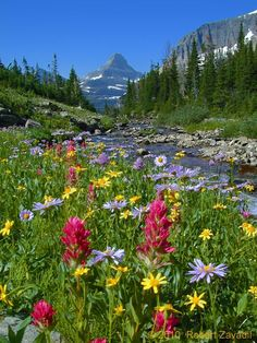 Bright red Indian Paintbrush stands out amid a field of other wildflowers in a lovely alpine meadow in Glacier National Park.  Mount Reynolds, located near Logan Pass can be seen in the distance.